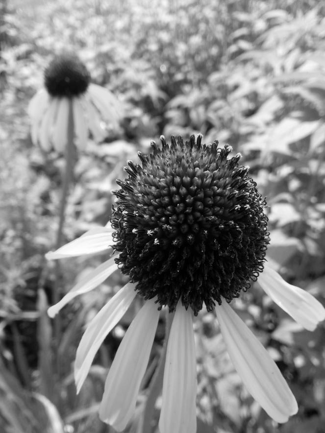 B&W Echinacea