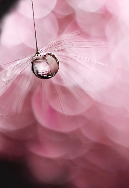 dandelion fluff with dew and pink