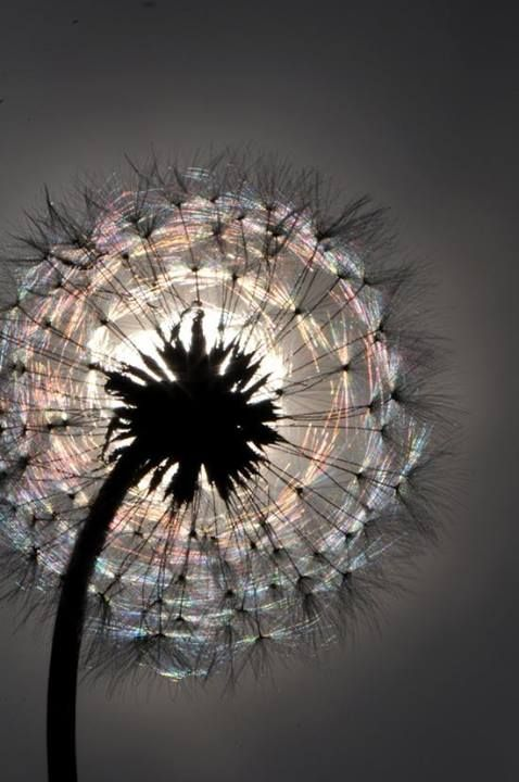 lit up dandelion
